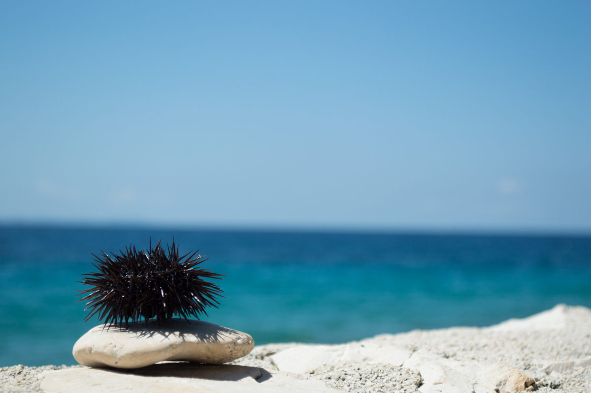 Sea urchin on rock with sea in background